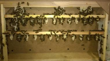 пчеломатки, бджоломатки Карпатка 2017