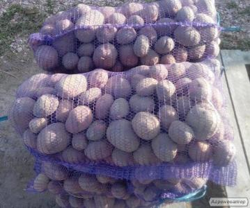 Продам Картофель Сорт Бела Роса _ 2016 Урожая