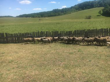 продам стадо  котных овечок чисто романовская порода