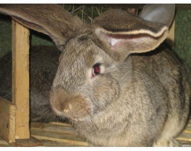 Племенной кролик