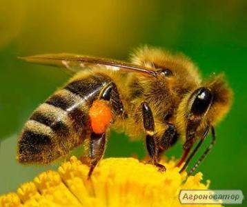 Продажа пчеломаток Карпатка март-апрель.