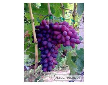 Саджанці винограду сорт КарМаКод