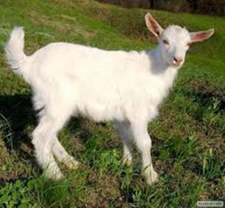 Зааненські кози
