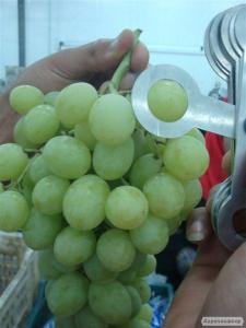 Виноград. Імпорт з Єгипту від виробника