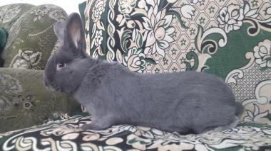Продам кроликів порід НЗК і Віденський блакитний.
