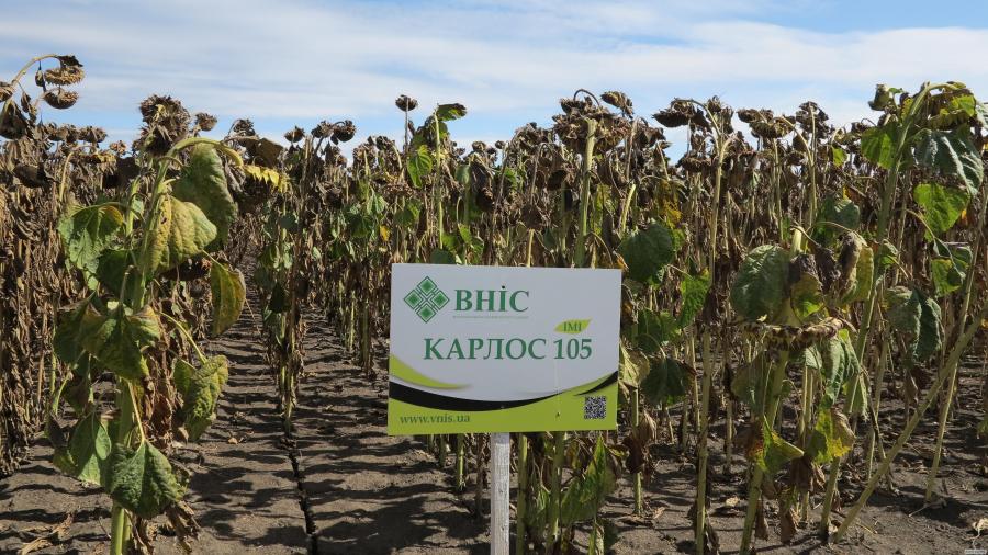 Семена подсолнечника Карлос 105 / Карлос 115 напрямую от ВНИС