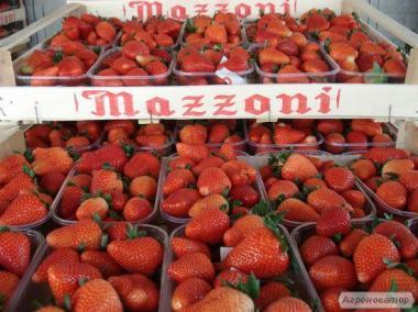 Саженцы земляники из Маццони / Mazzoni, Италия