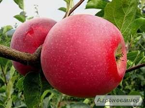 Яблоня чемпион рено (однорічні та дворічні)