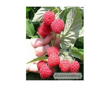 Саженцы малины ремонтантной и летнего плодоношения