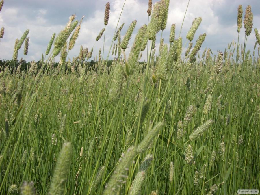 Продам семена кормових трав