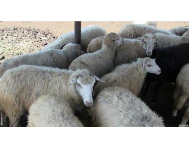 отара овец продаётся