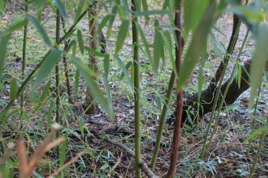 Бамбук морозостойкий