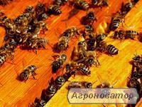 Продам пчелопакети карпатской породы