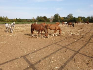 Кінь (кобили) Новоолександрівський Ваговоз