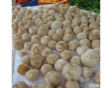 свіжі гриби веселка