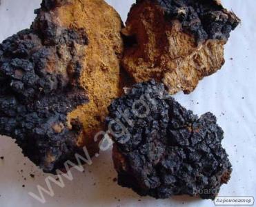 свіжі гриби веселка,березовий гриб чага 2017