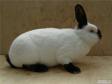 Каліфорнійські кролі