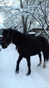 Продам коня Возраст 9 лет