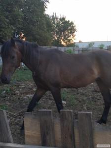 Продам коня (УВП) Українська верхова порода
