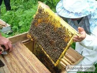Бджолині сім'ї, пчелы, пчелиные семьи