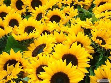 насіння соняшнику – Армагедон