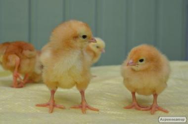 Цыплята мясо-яичных пород суточные и подрощенные