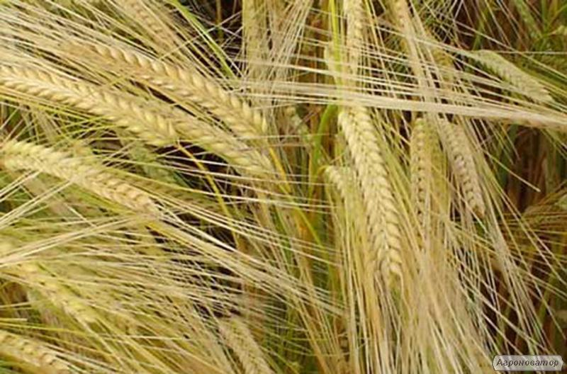 Семена ярового ячменя - сорт ВАКУЛА. Элита и 1 репродукция