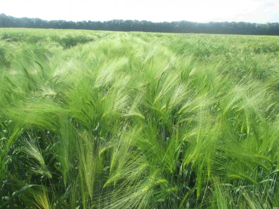 Семена ячменя озимого - сорт Тутанхамон
