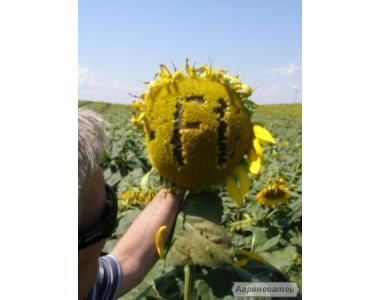 """""""Український F1"""". Гібрид соняшнику."""