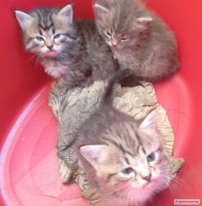 Продаю Британських довгошерстих котиків.