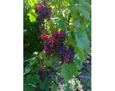 Саженцы винограда,актинидии В КОНТЕЙНЕРЕ