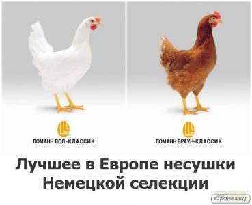 Продам курчат донецька. Продам добових курчат, Житомирська обл.