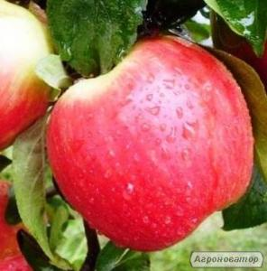 Саджанці яблуні сорту Канзи від виробника