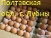 Яйця інкубаційні і курчата бройлера КОББ 500