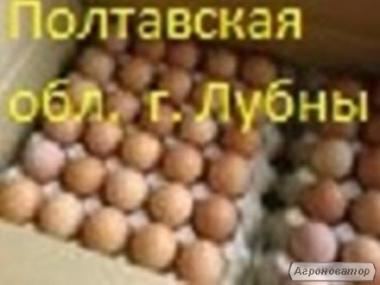 Яйця інкубаційні бройлера КОББ 500