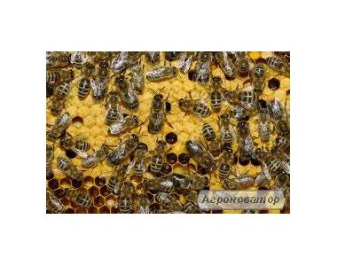 Продам пчелопакеты