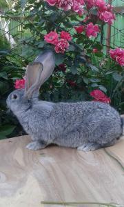 Продам молодняк кроликов породы Бельгийский великан (Фландр),