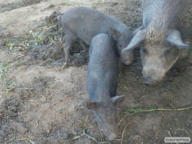 Продам свиньи породы мангал