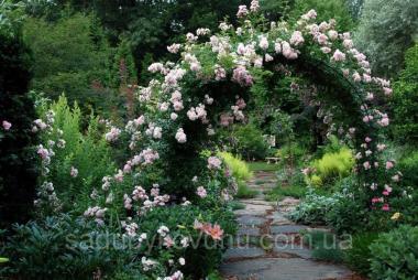 Роза в'юнка Венуста пендула