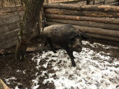 Мясо свиньи породы мангал