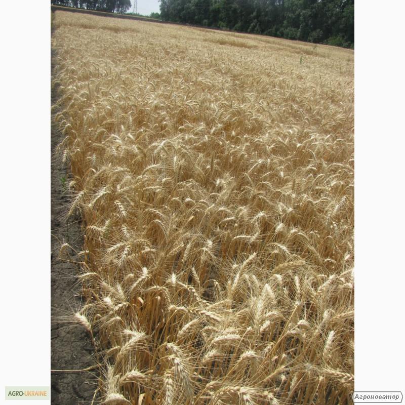 Семена пшеницы озимой - сорт Куяльник. Элита и 1 репродукция