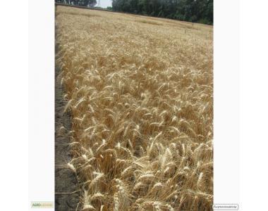 Насіння озимої пшениці - сорт Куяльник. Еліта та 1 репродукція