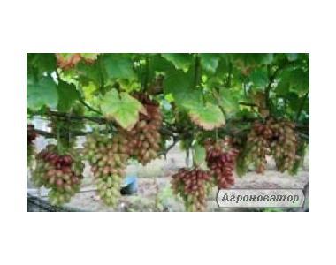 Саженцы винограда  раннеспелых сортов