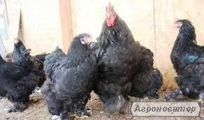 кури брама -кохінхіни