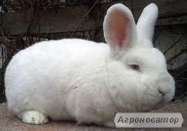 Кролики Новозеландський білий