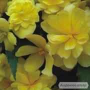 Продам насіння Бегонія Шансон Жовта F1