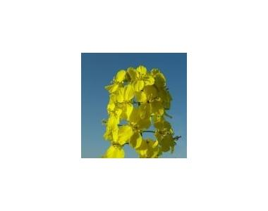 Семена озимого рапса Pioneer ПР45Д03 / PR45D03