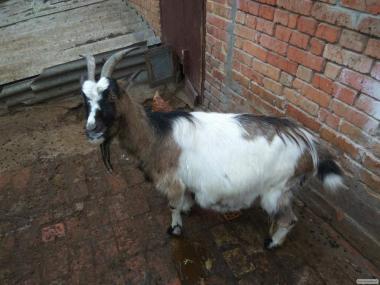 коза, 2 окот