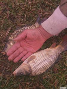 Продам зарибок прісноводної риби