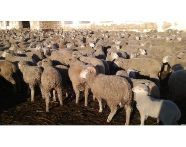 СРОЧНО И НЕДОРОГО Продаётся отара овец (асканийский меринос)